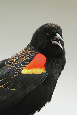 Photograph - Red Winged Blackbird by Craig Strand