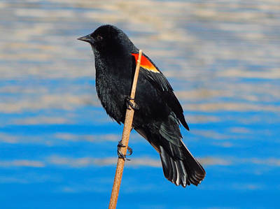 Photograph - Red-winged Blackbird by Dan Miller