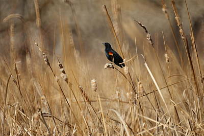 Blackbird Photograph - Red Winged Blackbird by Ernie Echols