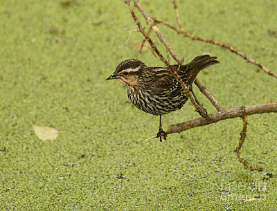 Photograph - Red-winged Blackbird Female by Charles Owens