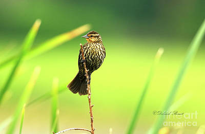 Photograph - Red Winged Blackbird Female by Deborah Benoit