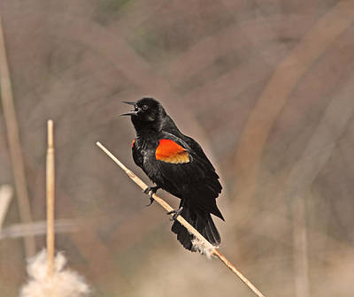 Yellow Photograph - Red-winged Blackbird by Gary Wing