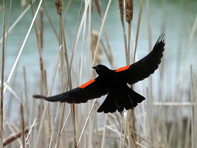 Photograph - Red-winged Blackbird I by C H Apperson