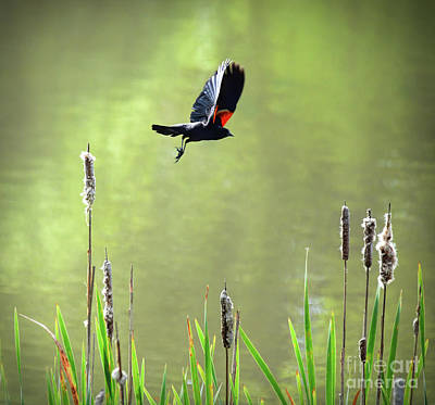 Photograph - Red-winged Blackbird In Flight by Kerri Farley