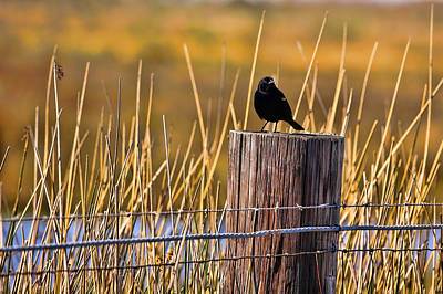 Photograph - Red-winged Blackbird by Judy Vincent
