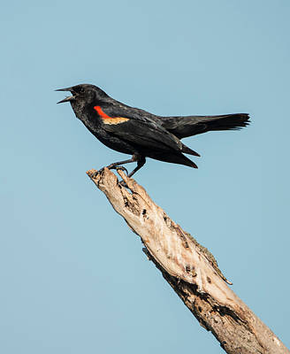 Photograph - Red-winged Blackbird by Loree Johnson