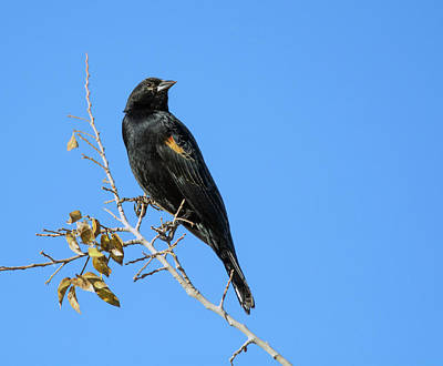 Photograph - Red-winged Blackbird Male 0959-010518-1cr by Tam Ryan