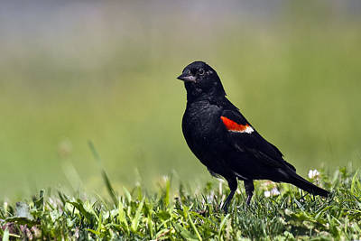 Animal Photograph - Red-winged Blackbird by Marcia Colelli