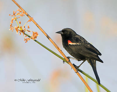 Photograph - Red-winged Blackbird by Mike Fitzgerald