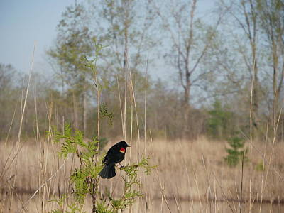 Photograph - Red-winged Blackbird by Peggy King