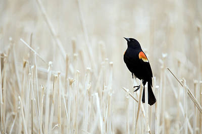 Red-winged Blackbird Perched Print by Philippe Henry