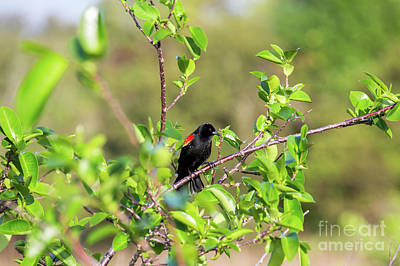 Photograph - Red-winged Blackbird by Rene Triay Photography