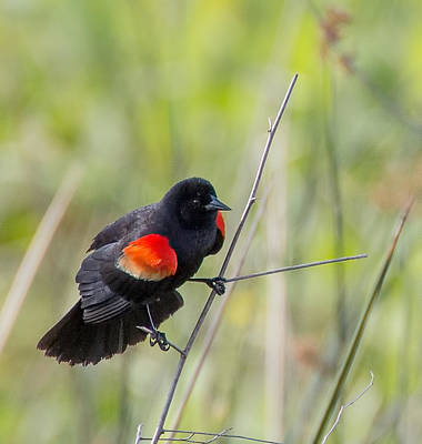 Photograph - Red-winged Blackbird by Richard Goldman