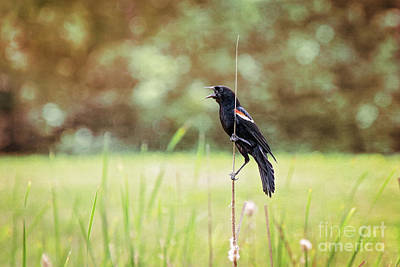 Photograph - Red Winged Blackbird by Sharon McConnell