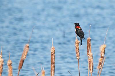 Photograph - Red-winged Blackbird by Steve Stuller