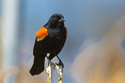 Red Digital Art - Red-winged Blackbird by Super Lovely