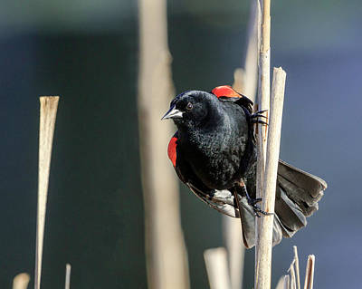 Photograph - Red-winged Blackbird Territory by Jack Bell