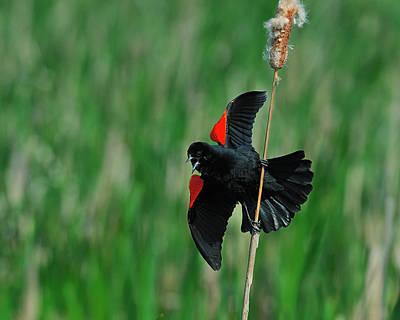 Red-winged Blackbird Art Print by Tony Beck