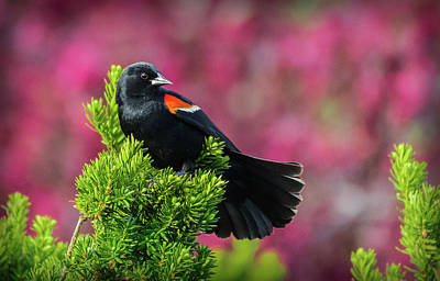 Photograph - Red Winged Blackbird With Crabapple Blossoms by Will Bailey