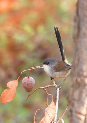 Photograph - Red-winged Fairy Wren by Tony Brown