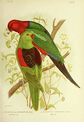 Drawing - Red Winged Lory And King Lory by Gracius Broinowski