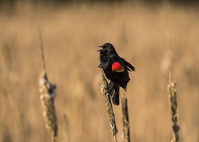 Photograph - Red-winged Singer by Robert Potts