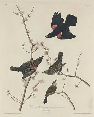 Audubon Drawing - Red-winged Starling by Dreyer Wildlife Print Collections