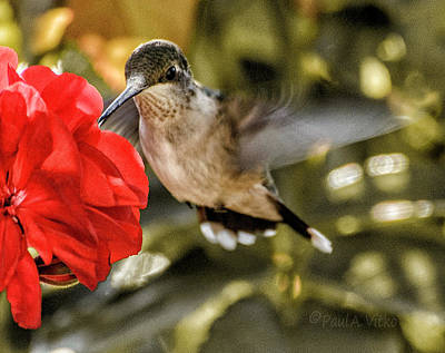 Photograph - Red With Hummingbird.... by Paul Vitko