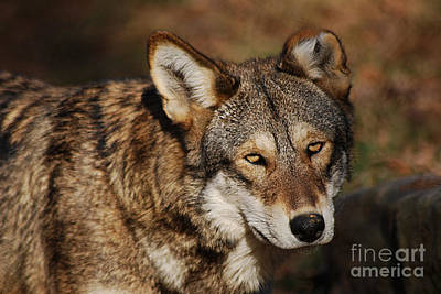 Photograph - Red Wolf 20131216_58 by Tina Hopkins
