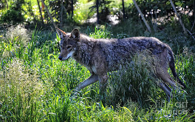 Photograph - Red Wolf by Frank Larkin