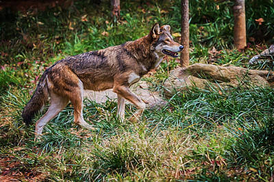 Digital Art - Red Wolf On The Prowl by John Haldane