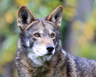 Photograph - Red Wolf Up Close by Steve McKinzie