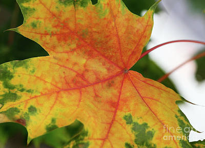 Photograph - Red Yellow Green Leaf by Karen Adams