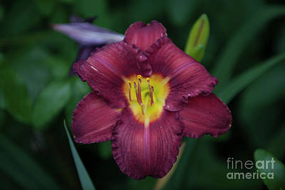 Photograph - Red Daylily by Dale Powell
