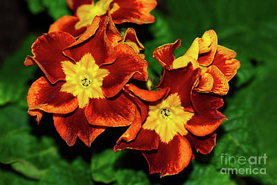 Photograph - Red Yellow Primula By Kaye Menner by Kaye Menner