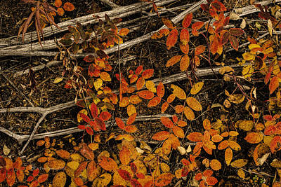 Photograph - Red, Yellow Rose Leaves by Fred Denner