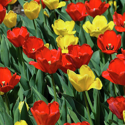 Photograph - Red And Yellow Tulips Section 02 Of 10 by Michael Bessler