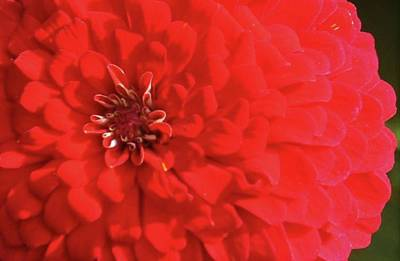Photograph - Red Zinnia  by Donna G Smith