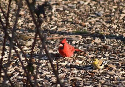 Tennessee Photograph - Redbird And American Golden Finch by Douglas Barnett