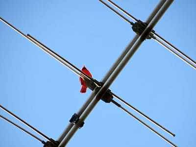 Photograph - Redbird On A Wire by Shawna Rowe