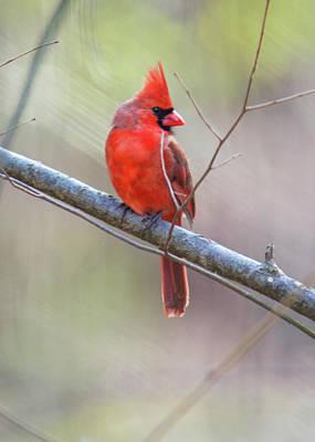 Redbird Or Northern Cardinal Art Print by Mother Nature