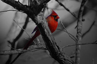 Birds Royalty-Free and Rights-Managed Images - Redbird by Shawn Wood