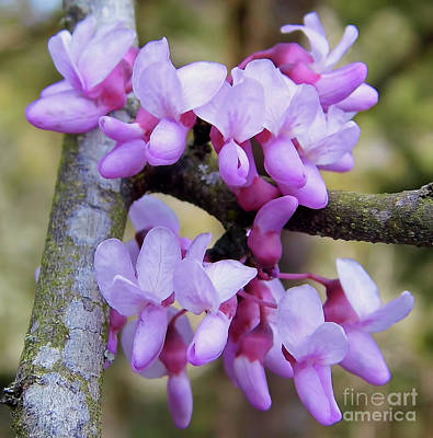 Photograph - Redbud Beauty by D Hackett