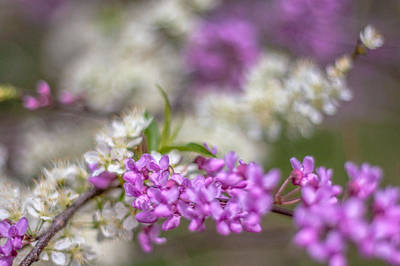 Photograph - Redbud Blooms by Karen Saunders