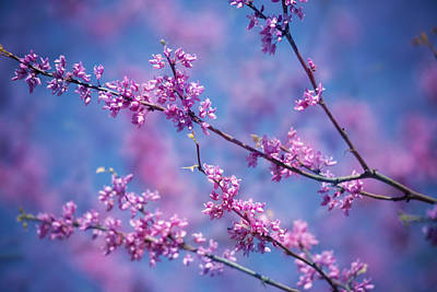 Photograph - Redbud Blossoms by Jemmy Archer