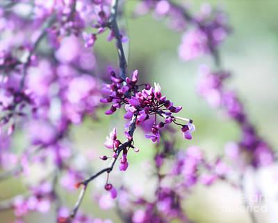Photograph - Redbud Blossoms by Kerri Farley