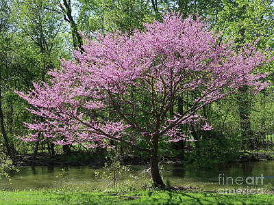 Photograph - Redbud In Bloom by Ann Horn