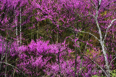 Photograph - Redbud In The Woods by Thomas R Fletcher