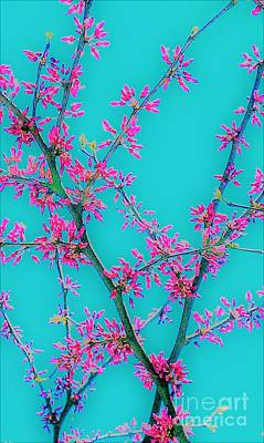 Photograph - Redbud by Jacqueline McReynolds