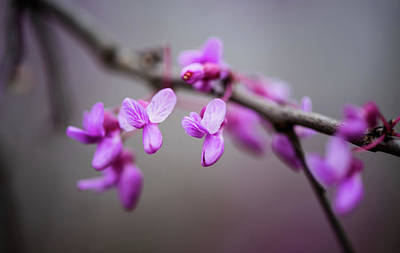 Photograph - Redbud by Linda Shannon Morgan